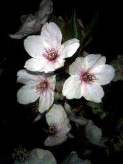 090409 桜(公所公園)